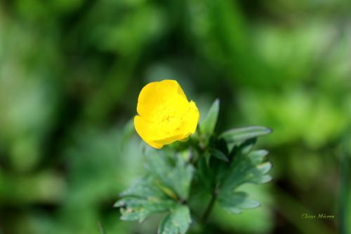 Blume ohne Insekt