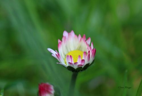 Gänseblümchen offen II